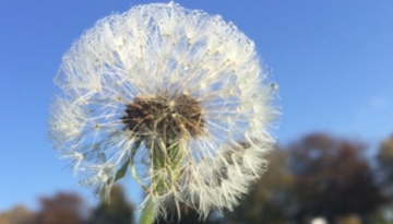 A dandelion flower in front of a blue sky